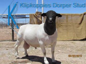 Upington Businesses   Klipkoppies Dorperstoet