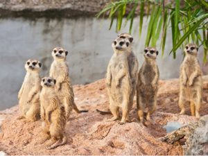 What to do | Kalahari Meerkat Project